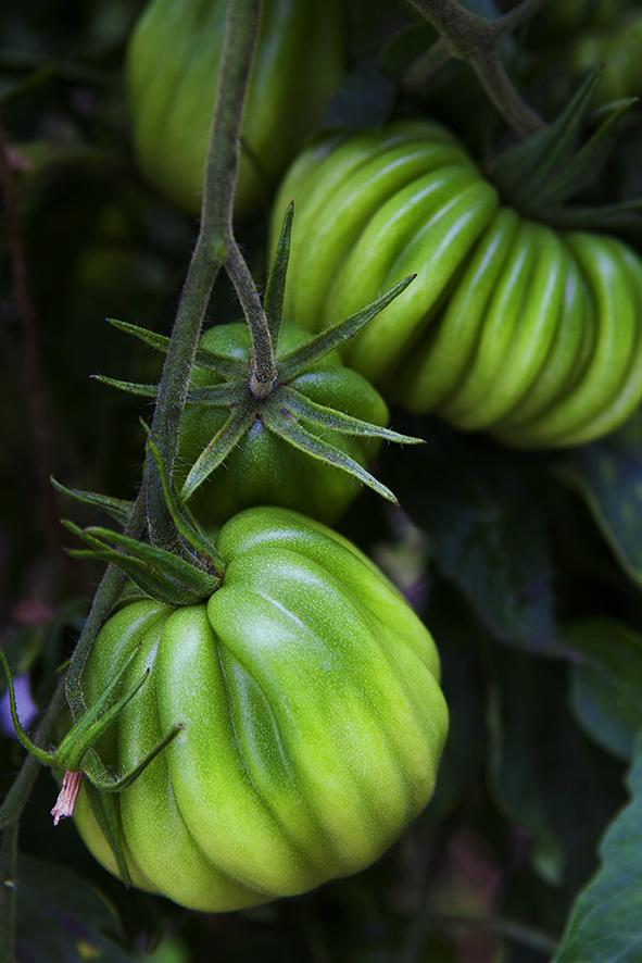 _MG_4960-tomaat groen-EPSON